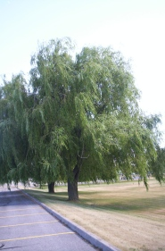 Loyalist willow not weeping for me