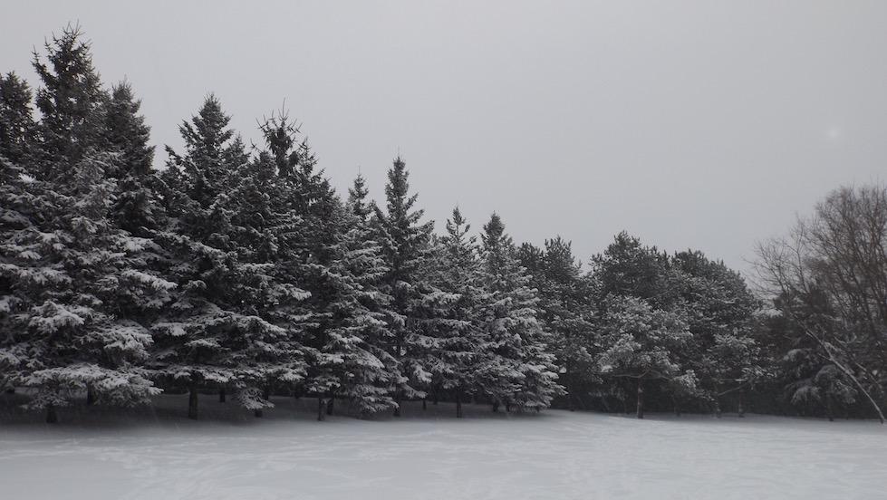 snowfir