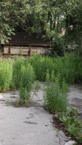 weeds02