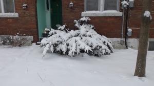 31-snowbush