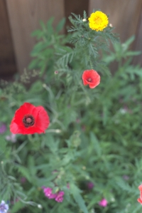 06-redpoppy02